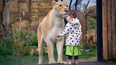 Coming face to face with a lioness at Paradise Wildlife Park