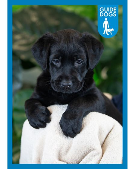 Black labrador guide dog puppy