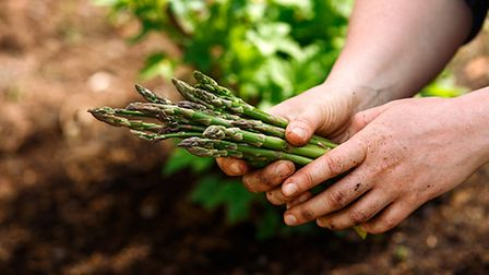 Close up of woman's hands holding freshly picked asparagus in spring vegetable, kitchen garden.