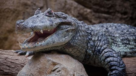 Crocodiles are large aquatic reptiles that live throughout the tropics in Africa, Asia, the Americas