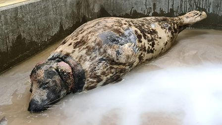 Mrs Vicar the grey seal was rescued at Horsey