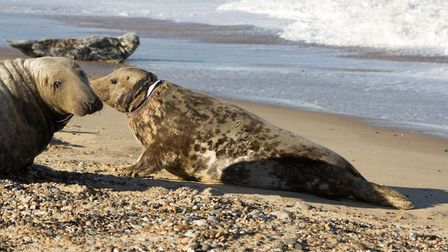 Mrs Vical the seal in 2018 at Horsey Beach