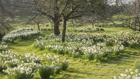 View across the orchard of naturalised daffodils (Narcissus) on the west side of the house at Cotehe