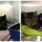Cats Ken and Deirdre were found in a box in Stevenage