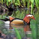 A Mandarin duck at the Seven Sisters ponds on the Heath Extension