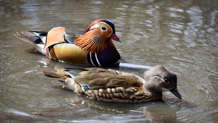 A pair of Mandarin ducks at the Seven Sisters Ponds on the Heath Extension