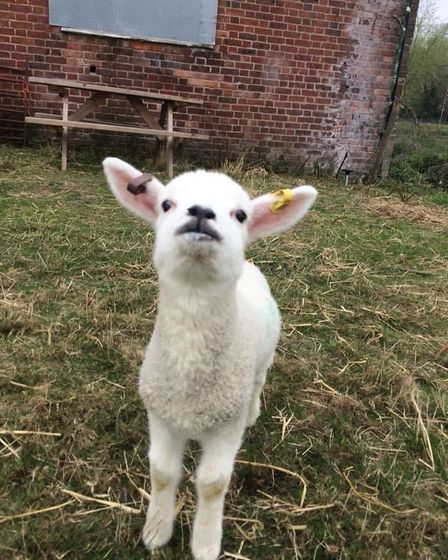 A lamb at Angelica's Rainbow Sanctuary on Hellesdon Road in Norwich.