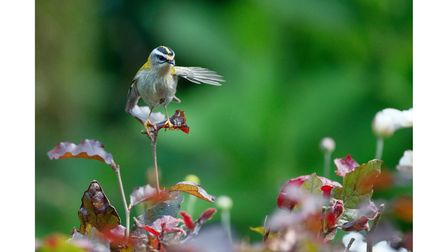 A firecrest bird which can be seen at Blackwater Arborteum