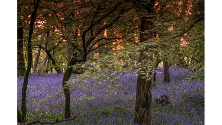 A carpet of bluebells amid oak trees and hornbeams