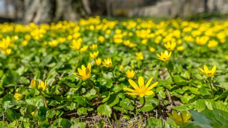 Bright yellow flowers of celandine carpeting a woodland