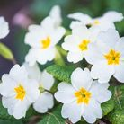 White primroses flowers blooming, close-up