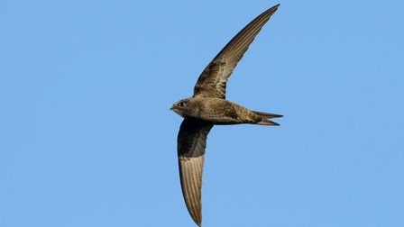 Swift numbers are declining due to loss of habitat.