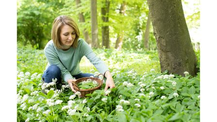 Only pick the young wild garlic leaves and flowers that you need