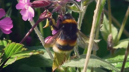 Bumblebees are busy in Cranbrook Country Park