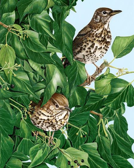 Tina Bone's painting 'Song Thrushes in Ivy' for the Royston Arts Society members' exhibition