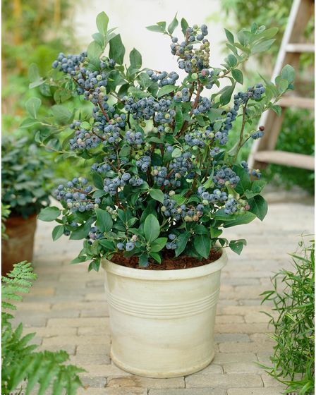 Blueberries growing in a cream-coloured pot