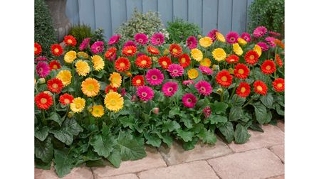 Bright Gerbera plants in a bed