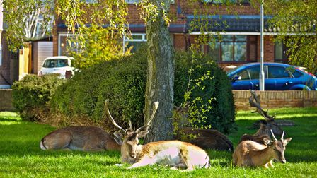 The herd were seen shading under trees in Harold Wood