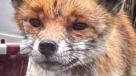 This fox needed rescuing from a St Albans balcony.