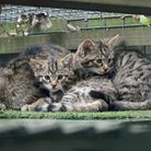 Two wildcat kittens lie close to their mother, one peers towards the camera curiously.