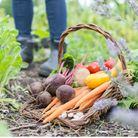 An assortment of freshly picked organic vegetables in a trug basket on an idyllic English allotment