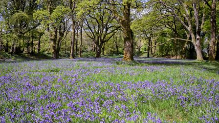 A blanket covering of Bluebells stretches off into the trees.