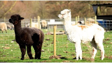 Baylham House Rare Breeds Farm is open for visitors