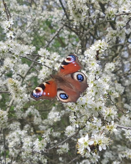 A Peacock butterfly captured by Julie Darby in Eaton Socon.