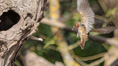 Stuart Buckminster's robin feeding young at the Coneygeare in St Neots.