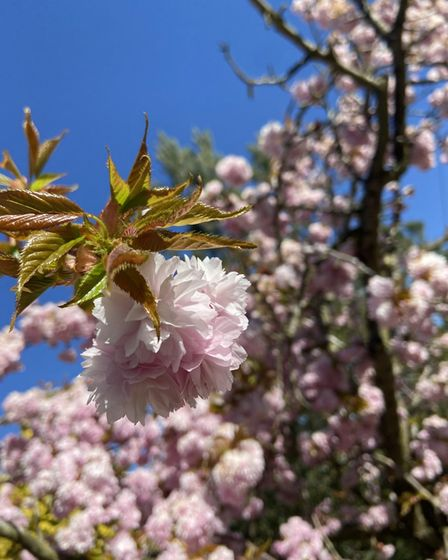 Jessica Hill's spring-time photo of cherry blossom at Paxton Hill in St Neots.