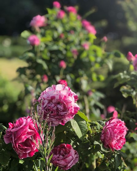 Ferdinand Pichard, a striped hybrid perpetual rose with a lovely scent