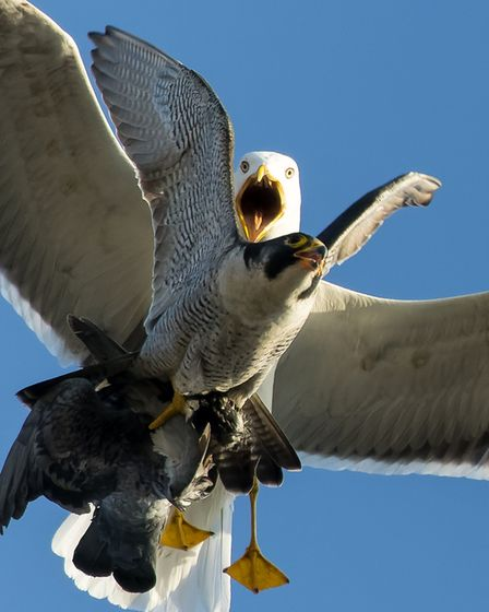 Norwich peregrine tries to avoid the gull