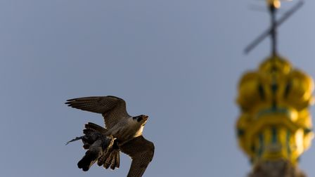 The peregrine had to loop several times around the cathedral to try and avoid the gulls.
