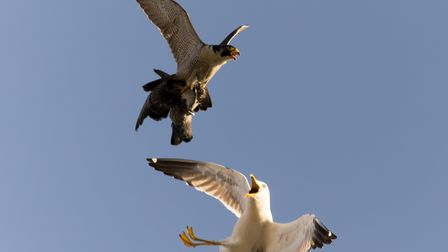 The male peregrine tries to dodge the gull and keep its meal.