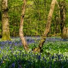 Bluebells and Wood Anemones grow thickly in a sun dappled wood