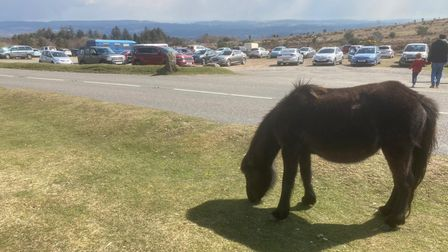 A Dartmoor Pony at Haytor Rocks in Dartmoor National Park with the busy car park in the background