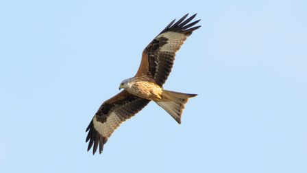 Red kite over Therfield Heath by David Hatton