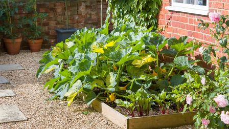 Vegetables (courgette plants and beetroot) growing in a raised bed in a UK garden in summer.