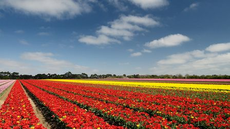 Norfolk tulips by Stawarz, Flickr, CC BY-ND 2.0