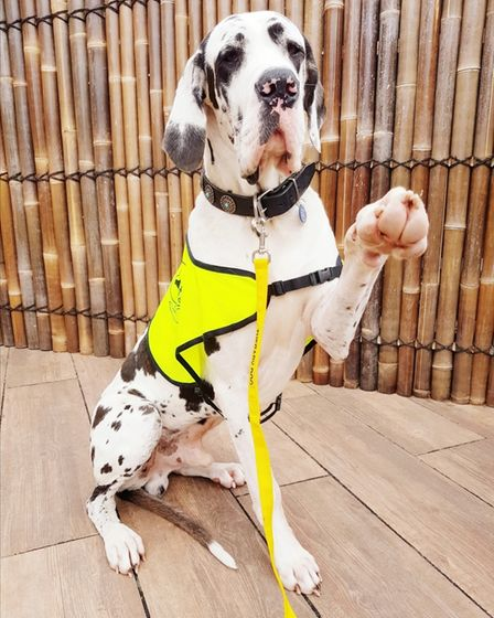 Great Dane in yellow therapy dogs jacket
