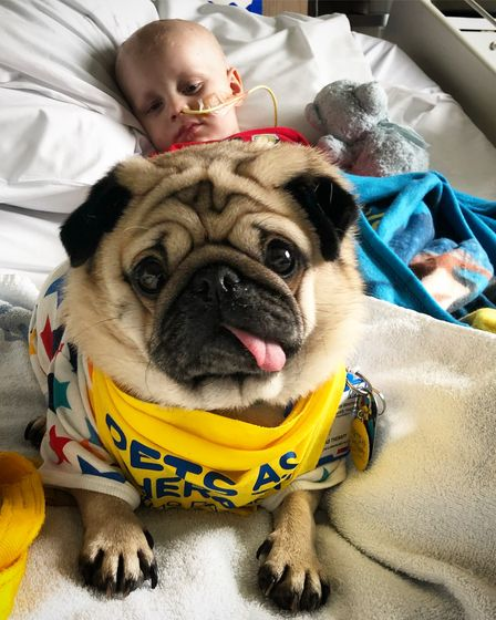 A Pets as Therapy pug with young child in hospital