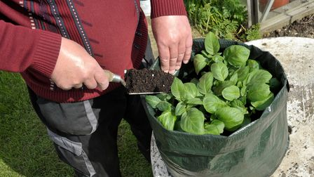 Gardener topping up Potatoes with compost growing in a space saving patio bag or vegetable growing b