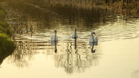 Three swans meander down a canal, reflected in the water as dusk settles.
