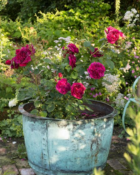 "Potted feature of Rosa Darcey Bussell ('Ausdecorum') (PBR) in a reclaimed area of the garden ""The o"