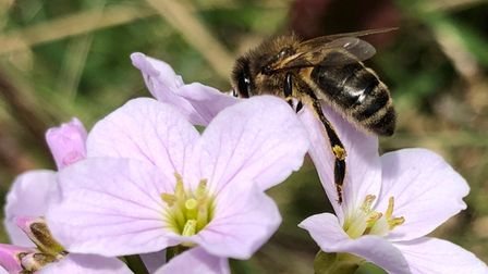 Ian Stott, from Hilton, took this image of a bee on a Cuckoo Flower at Hinchingbrooke Park.