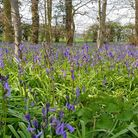 Dave Carter, of Eynesbury, took this photo of bluebells at the Spinney near Waresley.