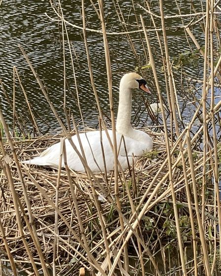 Dorothy Smith captured this image of a mother swan sitting on her nest at Houghton Mill.