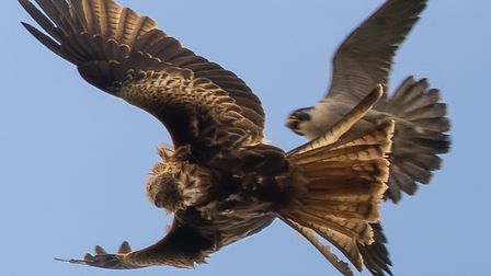 The peregrine flying above the red kite, with the kite turning on its back to flash its talons in a show of strength