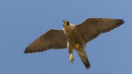 The female peregrine circling the sky above the red kite in an effort to move it along