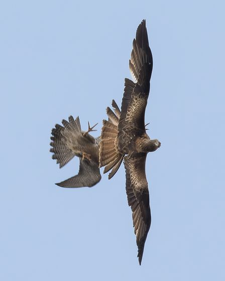 The red kite's wing span is almost double that of the female peregrine